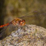 Makrofotografie Libelle